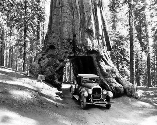 Wawona Tree Road. Photo by the National Parks Service.