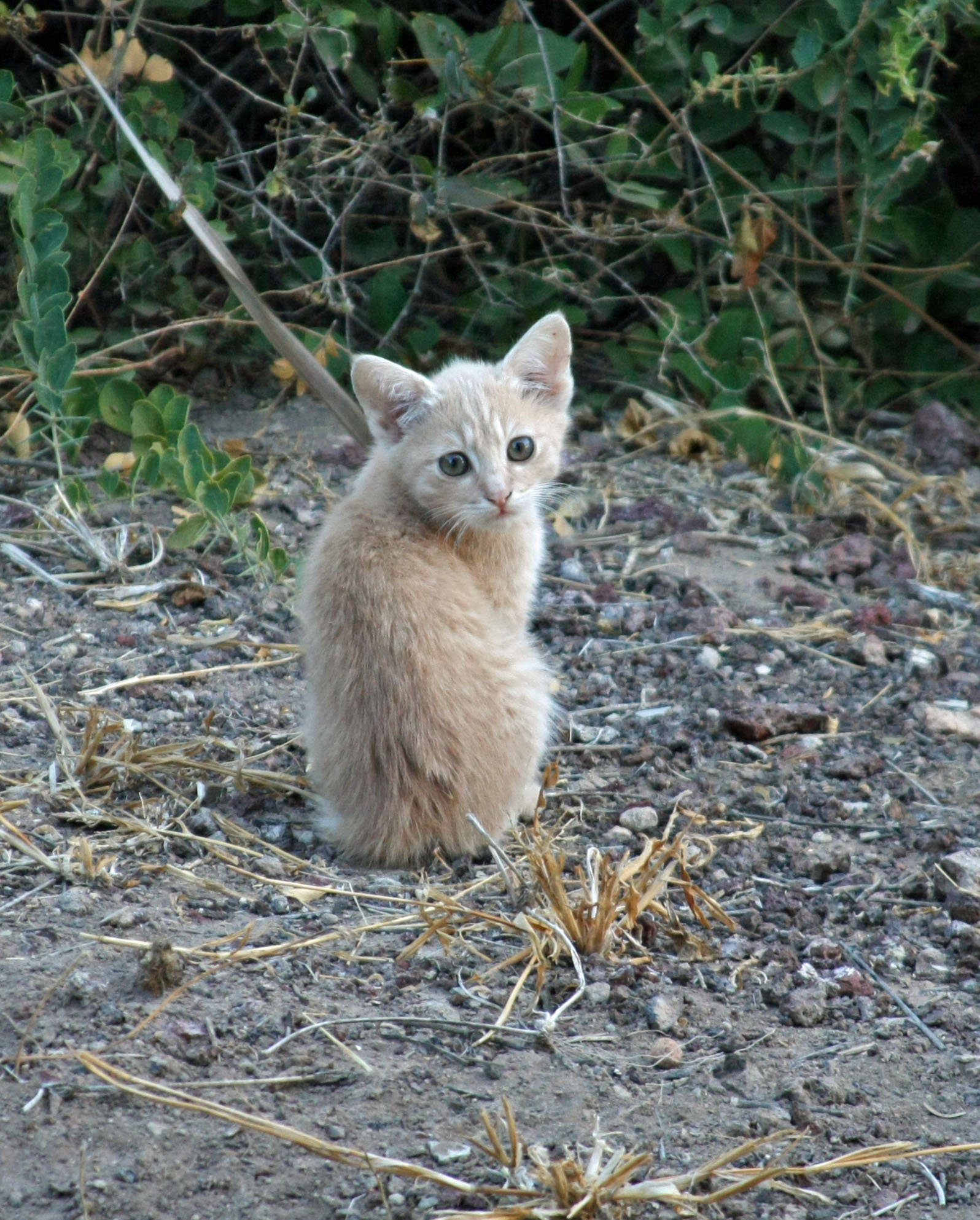 Picture of a small orange kitten in dirt near grass.