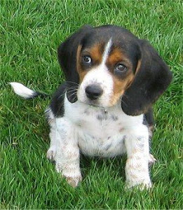 english-foxhound-pup