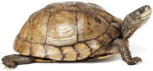 Coahuilan Box Turtle (Terrapene Coahuila) isolated on white background.
